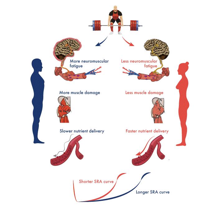 Diferencias de recuperación entre hombres y mujeres en cuanto a la fatiga neuromuscular, daño muscular y asimilación de nutrientes.