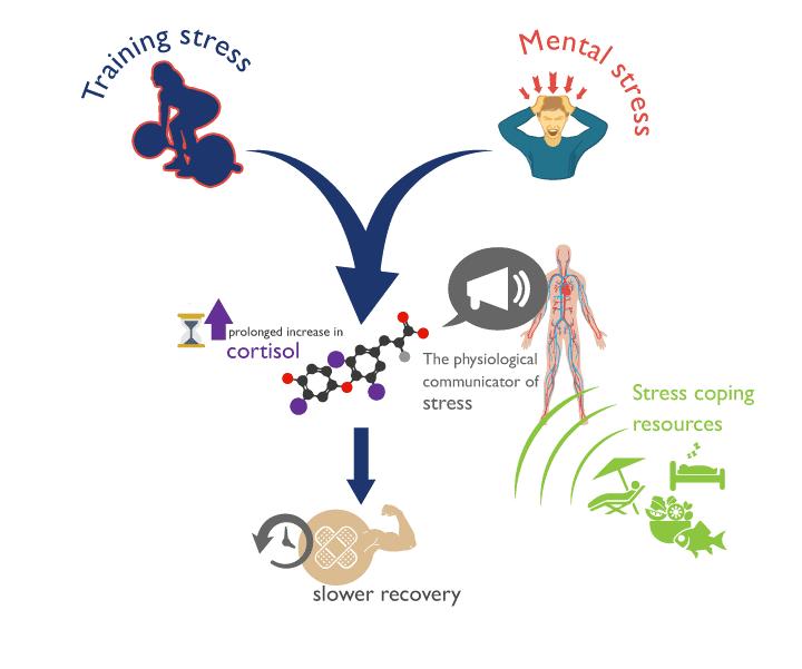 Cómo los niveles de estrés tanto físicos como mentales aumentan los niveles de cortisol y empeoran nuestra capacidad de recuperación.