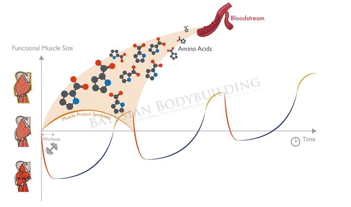Cómo interviene la síntesis proteica en la curva de adaptación muscular.