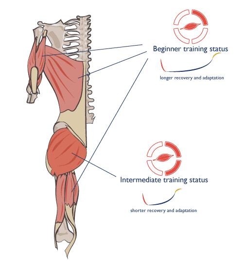 Tiempo de recuperación y adaptación de tu musculatura en función del nivel de entrenamiento del grupo muscular.