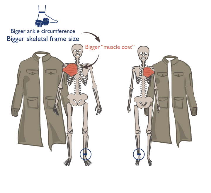 En función de la circunferencia de tu tobillo y tu peso corporal se puede determinar tu potencial genético para las ganancias de fuerza.