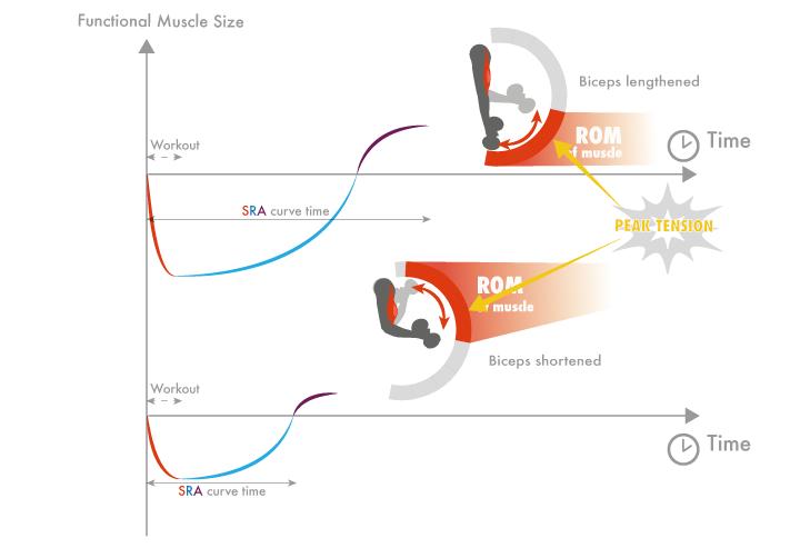 Frecuencia de entrenamiento más óptima en función de si un grupo muscular trabaja en posición acortada o elongada