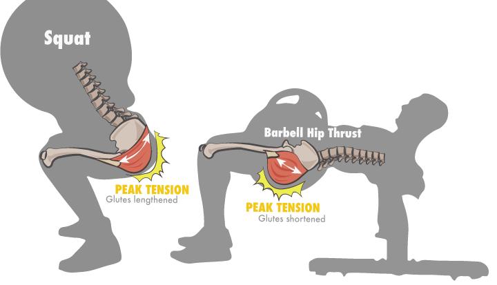 Pico de tensión y activación máxima del glúteo en los ejercicios de sentadilla y hip thrust.