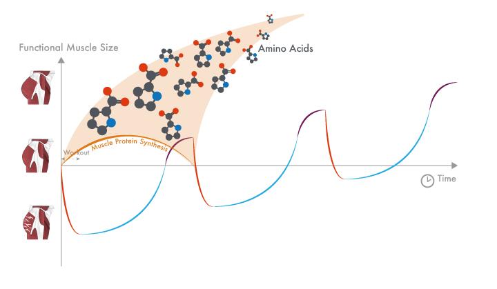 Elevación de síntesis de proteínas y el proceso de recuperación, adaptación de entrenamiento.
