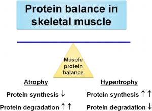 Balance de nitrógeno y cómo se produce el aumento o pérdida de masa muscular debido al balance entre degradación o síntesis proteica.