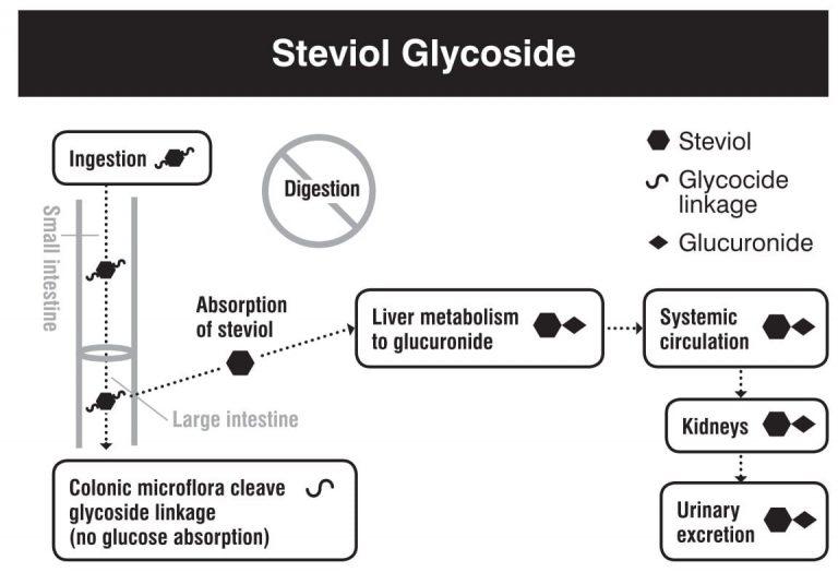 Ingestión, absorción, metabolismo y excreción de la stevia.
